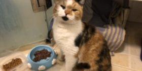 橘子 一岁母猫 |Juzi